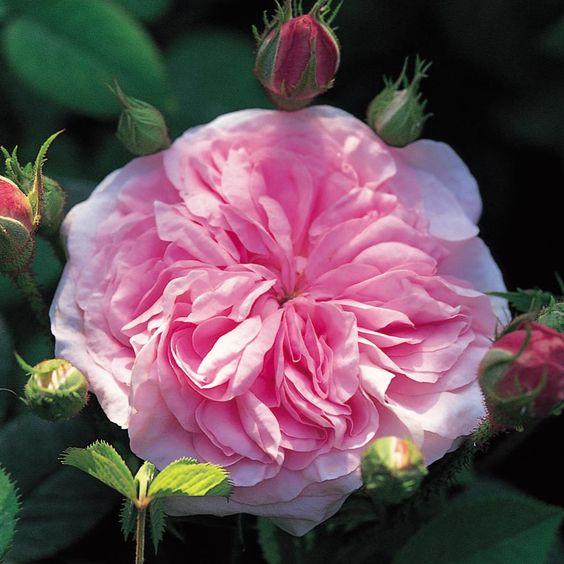 Queen of Denmark, old rose