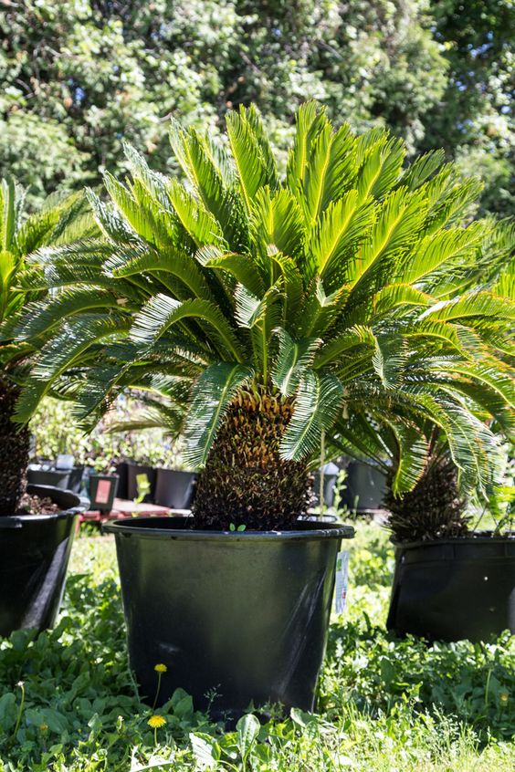 One of the oldest living plants the sago palm is an for Plants that need little care