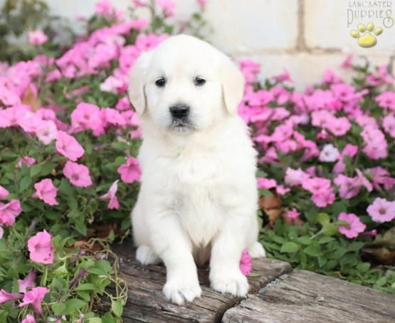 Buddy Golden Retriever English Cream Puppy For Sale In