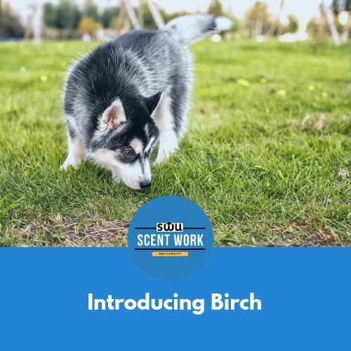 Your Dog Is Ready To Start Hunting For A Target Odor Birch In