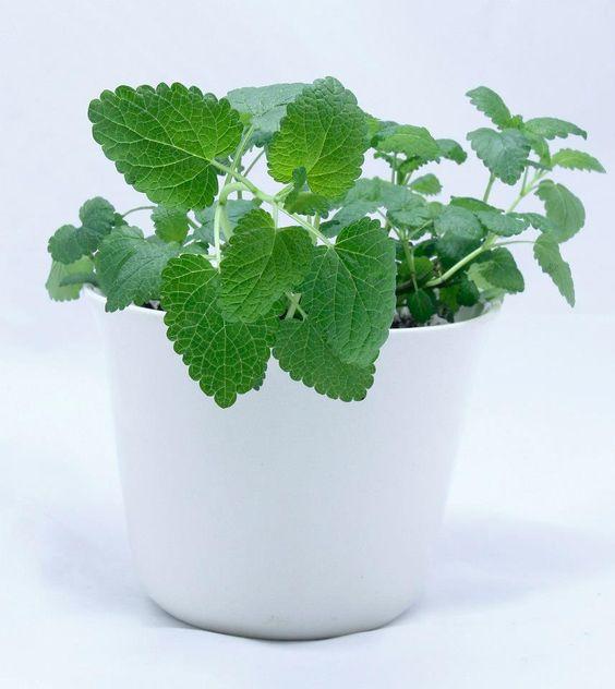 Planta Aromatica. Jardin de Ana