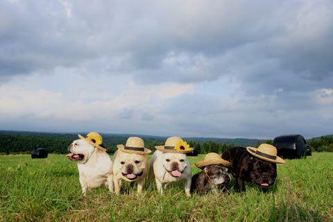 French Bulldogz