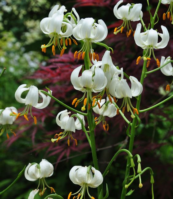 Martagon lilies in the display garden at Lost Horizons | Three Dogs in a Garden