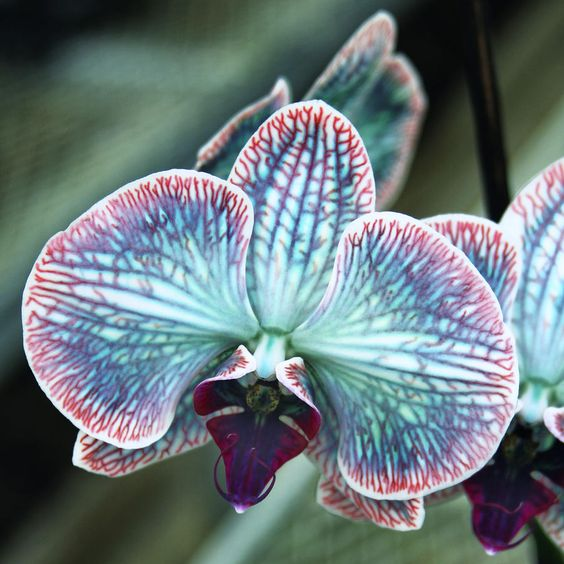 Festive Orchid Photograph by William Dey