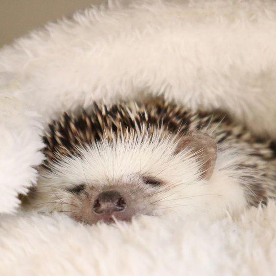 cuties;cuteanimals;animals;exoticanimals;funnyanumals;nature;wildnature ;amazing;cute pet;due to racial habits;pets;animals;hedgehog