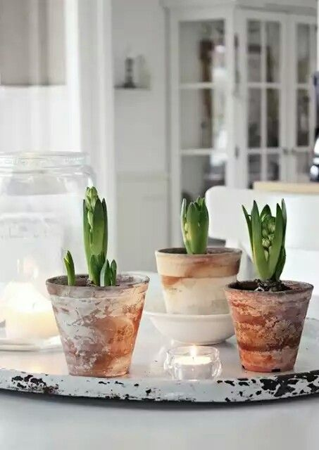 hyacinths forced spring bulbs in beautiful white washed clay pots how to hygge in spring