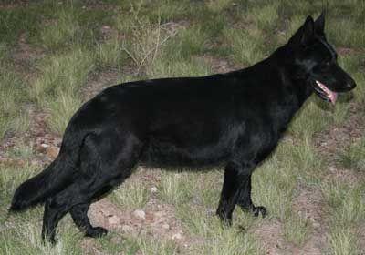Female German Shepherd Black German Shepherd