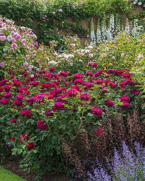 a0e14e181e2840fb2e220991053f165e - Pictures Of Rose Gardens With Companion Plants