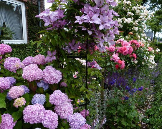 hortensien und rosen seite 1 rund um die rose mein sch ner garten online. Black Bedroom Furniture Sets. Home Design Ideas