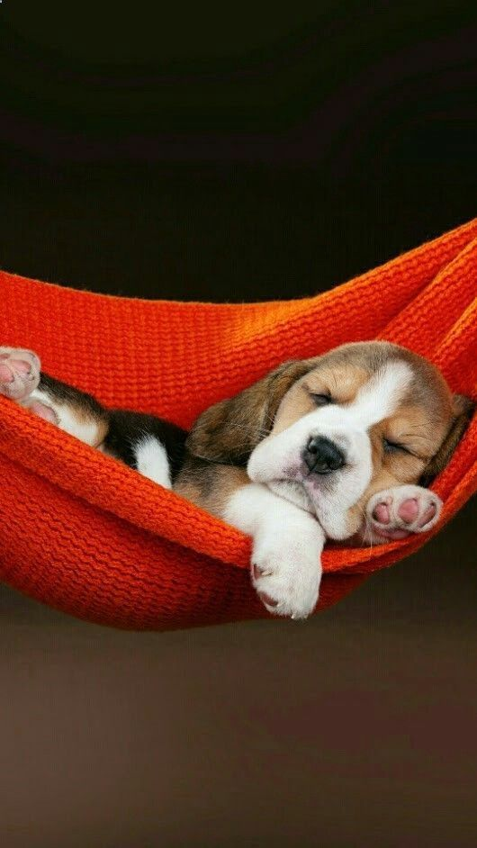 Beagle In A Hammock How Cute Is That Cute Baby Animals Puppies