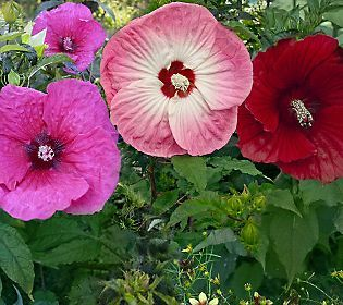 Cottage Farms Hibiscus Related Keywords & Suggestions - Cottage
