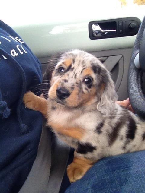 8 week old long haired miniature dapple dachshund. So cute!!