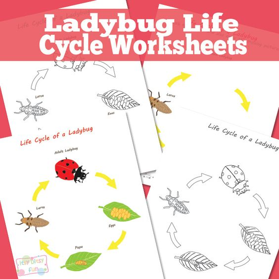 Ladybug Life Cycle for Expedition