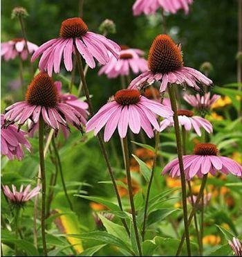echinacea purpurea profusion -80 x 45 cm floraison : juillet à