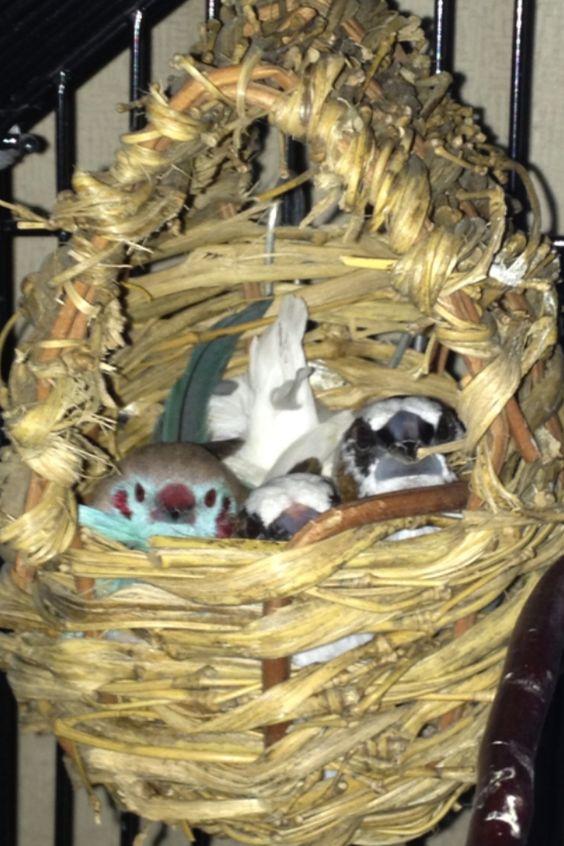 Cordon bleu finch nest - photo#1