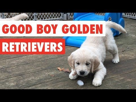 Good Boy Golden Retrievers Funny Dog Video Compilation 2017