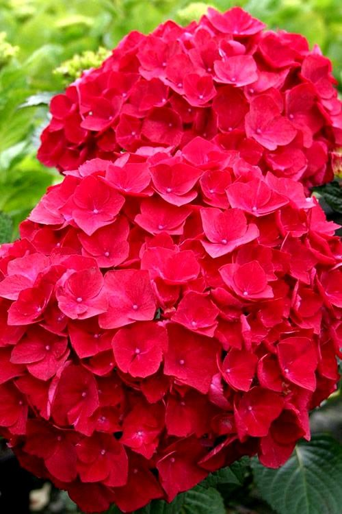 Buy Cardinal Red Hydrangea Free Shipping 3 Gallon Plants For Sale Online From Wilson Bros Gard In 2020 Red Hydrangea Hydrangea Flower Arrangements Hydrangea Flower