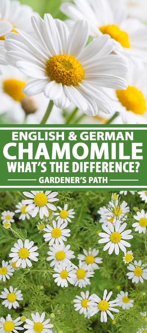 Differences Between English And German Chamomile Gardener S Path Gardening For Beginners Planting Herbs Easy Garden