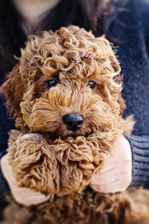 I want a goldendoodle!!