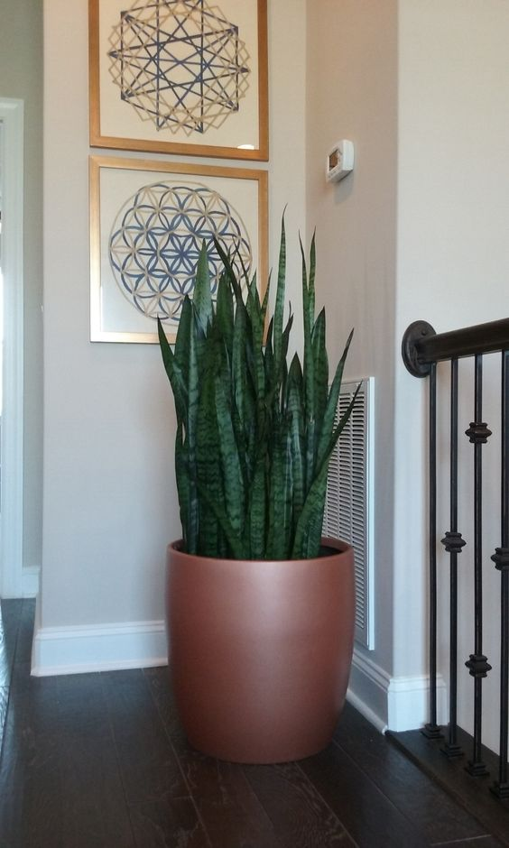 A Sansevieria Zeylanica in decorative container. One of my green friends I care for on one of my interior landscape accounts. Common name of this plant is Snake Plant or  Mother-in-Law Tongue. Indoor plant photo by http://www.plantandflowerinfo.com/ For plant care info on indoor plant Sansevieria visit my website http://www.plantandflowerinfo.com/plant-care-mother-in-law-tongue #motherinlawtongue #plant #care #snakeplant #houseplants