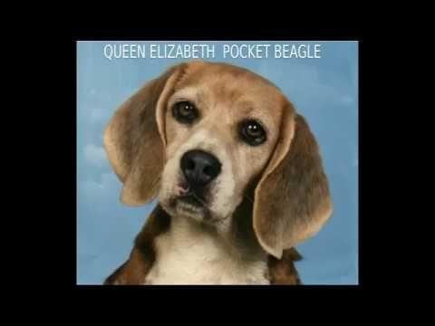 Queen Elizabeth Pocket Beagle Mid Size Dog Breed Dog Breeds