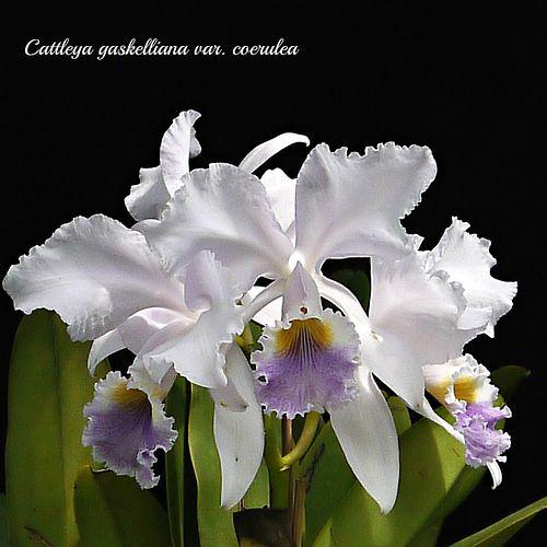 Cattleya Gaskelliana Var Coerulea 3 Cattleya Orchid Cattleya Beautiful Flowers