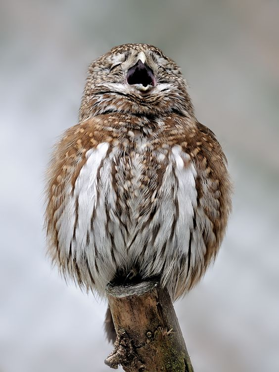 """The singer, © Thorsten Faber """"... in fact, a yawn is the little pygmy I photographed in the reserve zone in the Bavarian Forest NP. It was one of the very rare moments where he was pretty clear."""""""
