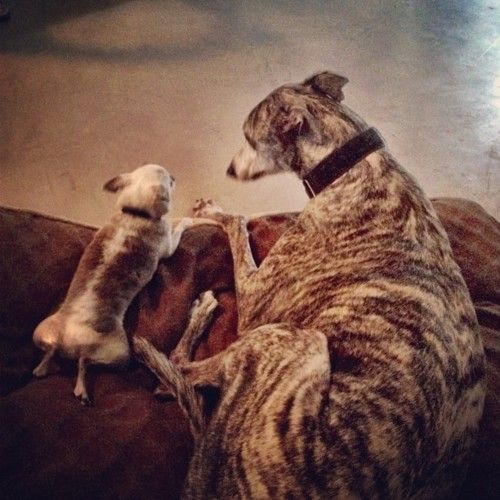 Adorable brindle chihuahua and greyhound, old pals it seems.