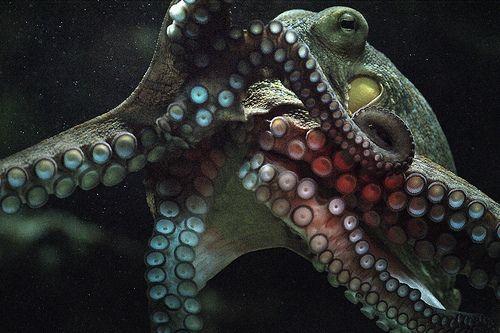 underbelly octopus