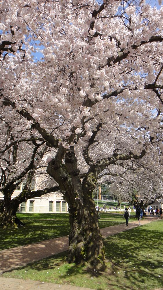 Beautiful Cherry Blossoms On Uw Campus Blossom Beautiful Tree