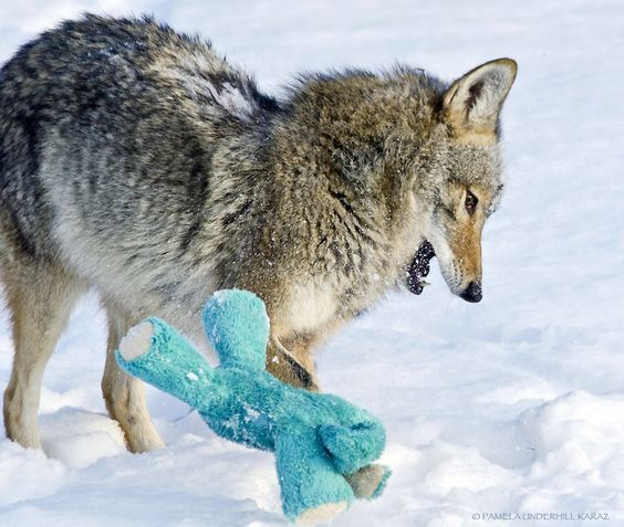 Coyote finds old dog toy, acts like a puppy A photographer spotted a coyote as it trotted into her yard and explored a toy left in the snow. What she managed to capture on camera is the beauty of play.   (3.6.15)