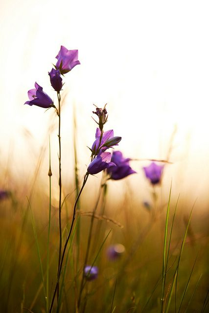 harebells / Repinned by Llewellyn Landscape & Garden Design www.llgd.co.uk
