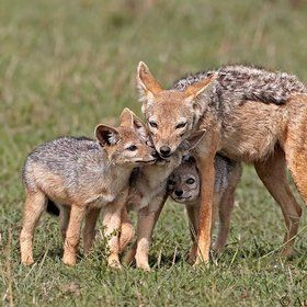 A family of Jackals, showing some obvious live and affection for each other.