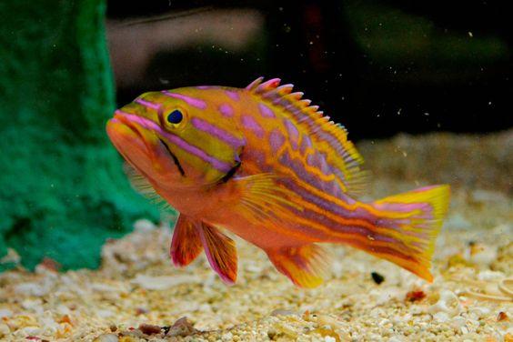 Live beginner saltwater fish 4 polleni harlequin for Live saltwater fish