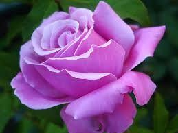 Αποτέλεσμα εικόνας για λουλουδια μωβ