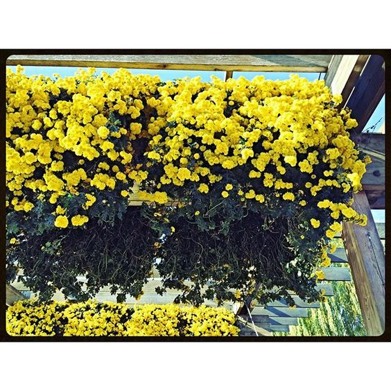 """""""#flowers #yellow #basket #hanging #window #mothernature #design #landscape #garden #botanic #plant #porch #deck #sunroom #balcony #Chicago #suburbs #high #ceiling"""" Photo taken by @akaaki157 on Instagram, pinned via the InstaPin iOS App! http://www.instapinapp.com (11/12/2015)"""