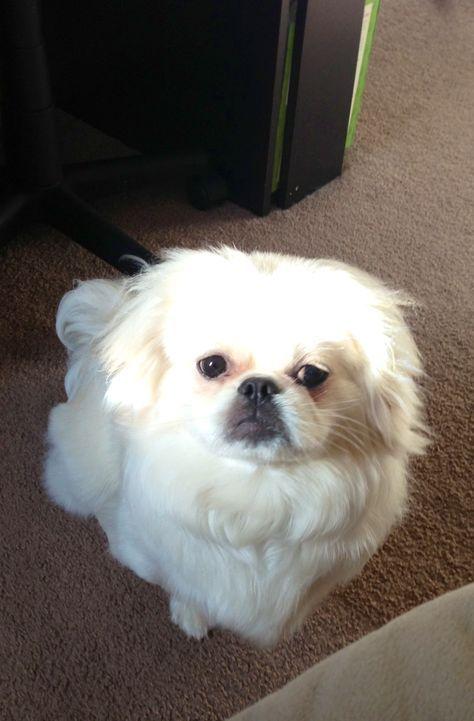 Pekingese/Shih Tzu - looks like my baby:)