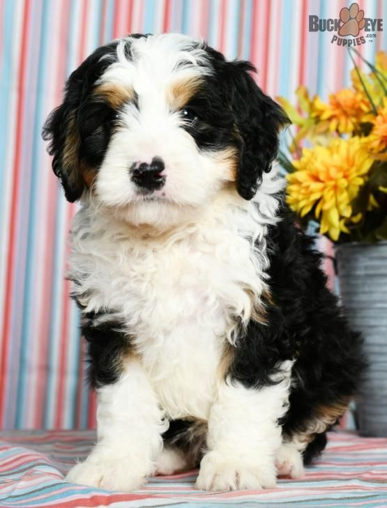 Sarge Mini Bernedoodle Puppy For Sale In Millersburg Oh