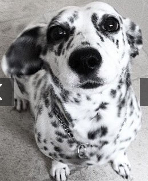 Corgi Dalmatian Hunderassen Mischlingshunde Hunde