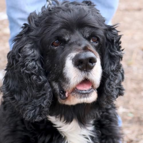 Hi I M Frank I M A 9 Year Old Neutered Male Black With White Cocker Spaniel Cute Puppies And Kittens White Cocker Spaniel Cocker Spaniel
