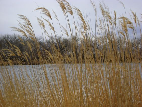 grasses near the duck pond