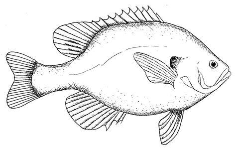 Printable Crafts Colouring Pages Free Premium Templates Fish Artwork Fish Sketch Fish Drawings
