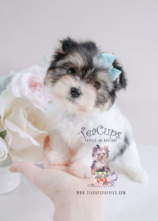 Biewer Yorkie Puppy For Sale 080 Teacup Puppies Teacup Puppies Biewer Yorkie Teacup Puppies For Sale