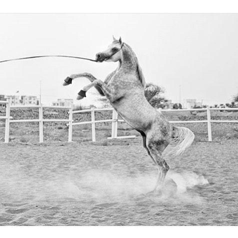 الخيل العربي On Instagram الخيل خيل خيول الخيول الخيول العربية الخيل العربية الخيول العربيه الخيل العربي الخيول العربية الأصيلة مرب Giraffe Animals Kangaroo