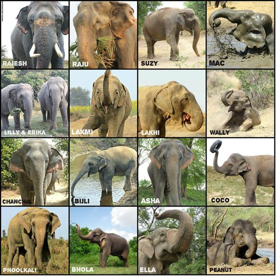 Elephants at Wildlife SOS All came from being rescued! You can sponsor any animal at Wildlife SOS to their on-going care.: