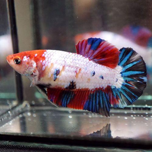 Live Betta Fish Big One Female Multi Colors Koi Candy Full Galaxy Red Head Hmpk Siamese Fighting Fish Betta Fish Betta