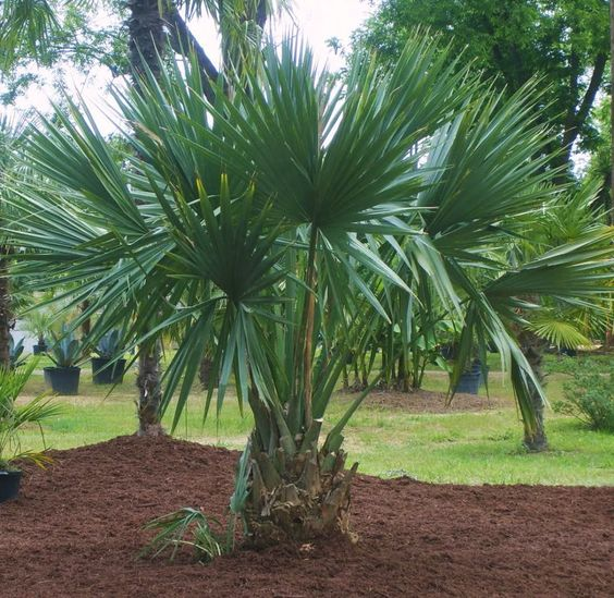 Dwarf Blue Palmetto Palm Sabal Minor Dwarf Palmetto