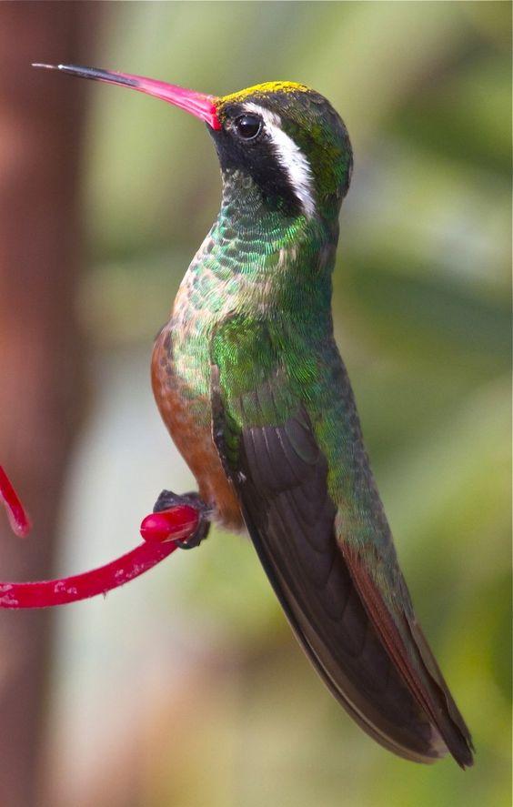 Xantus Hummingbirds, Mexico a...