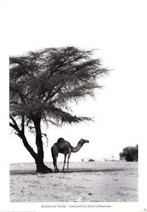 Camel and Tree, Desert of Mauritania  	             by Alexis De Vilar