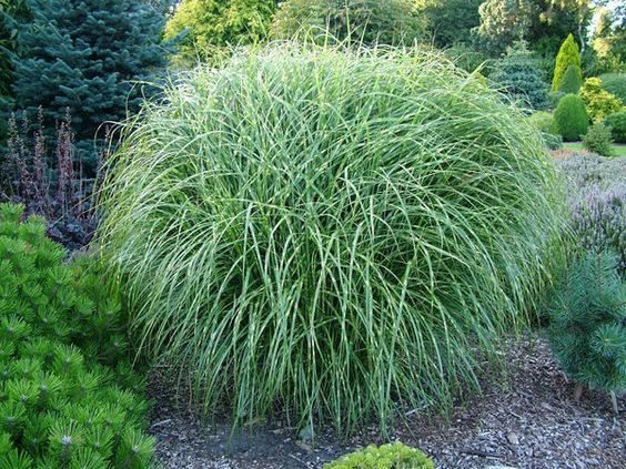Tall grasses for landscaping garden with beautiful for Ornamental grasses that grow tall